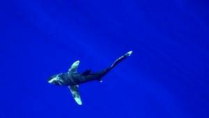 Ein Weißspitzen-Riffhai, der uns einen ganzen Tag begleitet hat (W. Borchert)