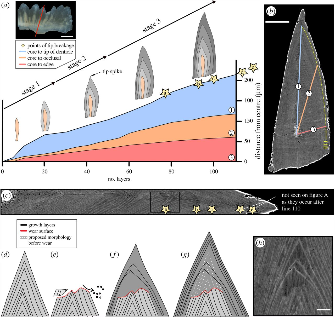 "Zum Artikel ""Wear, tear and systematic repair: testing models of growth dynamics in conodonts with high-resolution imaging"""