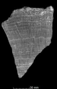 Schnitt durch die pleistozäne Koralle Porites mit deutlichen Wachstumslinien